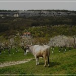 Ox  at thе Mangup-Calais