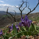 Mountain irises
