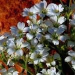 Crimean edelweiss (mouse-ear chickweed Bieberstein)