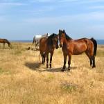 crimean horse