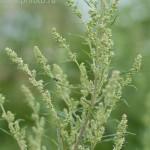 ambrosia - wormwood