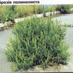 ambrosia (mugwort-list)