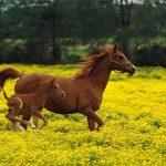 Где впервые появились одомашненные лошади?
