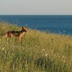 crimean fox