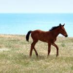 crimean foal