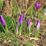 Krokusse_violett