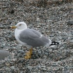 sea-gall