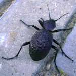 crimean ground beetle