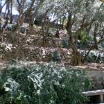 Nikita-garden. Olive-trees