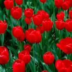 Nikita's tulips