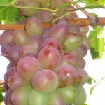 Tayfi pink grape-
