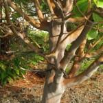 Arbutus andrachne-