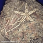 Морская звезда Urasterella montana (Stschurowsky) Voskresensk-Moscow