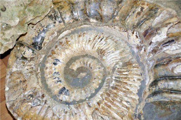 аммониты древнего океана Тетис.