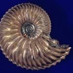 Cardioceras (Subvertibriceras) caelatum