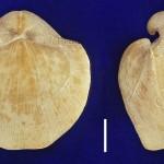 Choristites- mosquensis (sowerby)