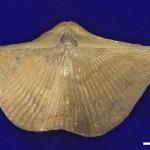 Cyrtospirifer-БРАХИОПОДЫ-плеченогие