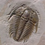 trilobite-трилобит-окаменелости океана Тетис