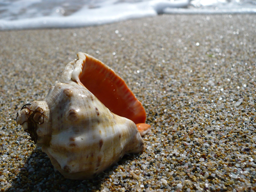 раковина моллюска-рапана на берегу Чёрного моря