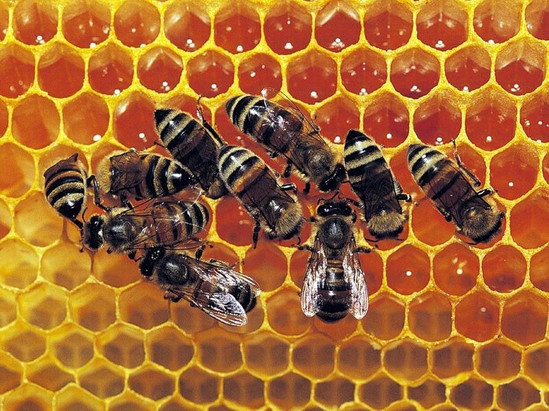 Пчелки и соты с медом