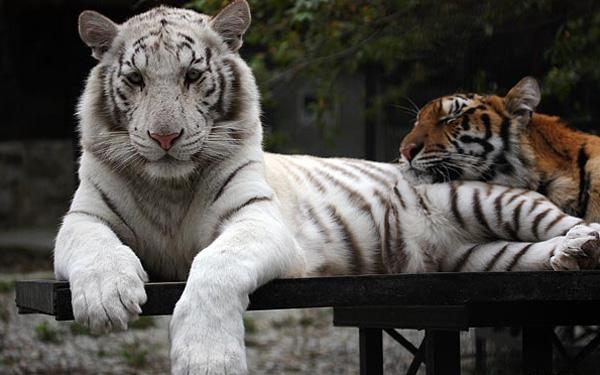 1белый тигр