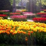 Парад тюльпанов в Никитском саду.