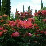 Выставка «Волшебные розы» Никитского сада.