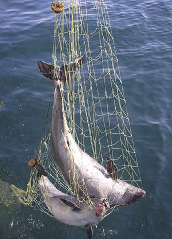 дельфины в рыболовных сетях