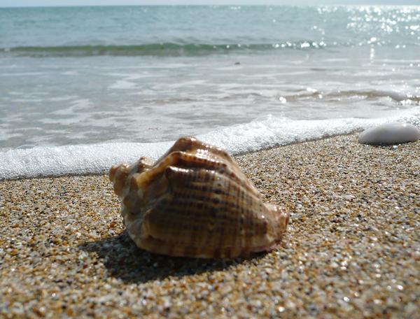 Чёрное море. Ракушка-рапана