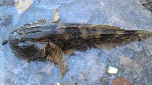 Neogobius-melanostomus