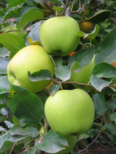 Яблочки Голден