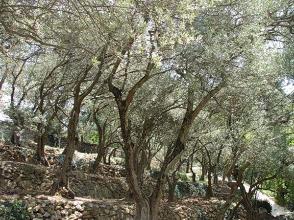 оливковая роща в Никитском саду