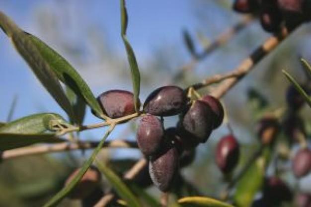 olive-branch-оливковая ветвь