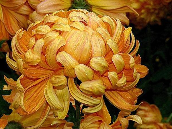 золотая хризантема