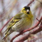Обычай выпускать весною птиц на волю.