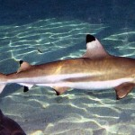 Тихоокеанские акулы в Аквариуме Евпатории.