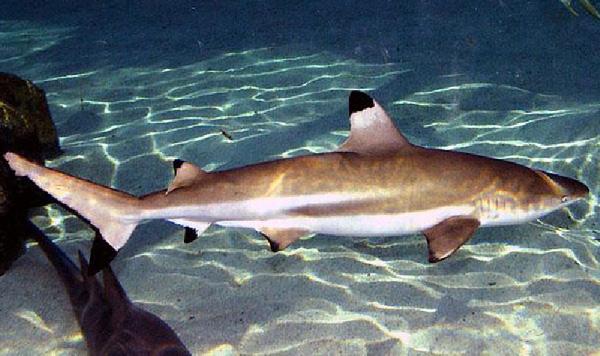 акула чернопёрая
