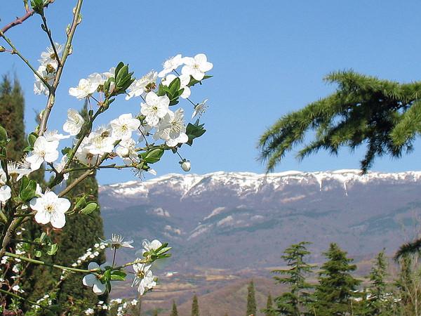 дикая вишня в горах