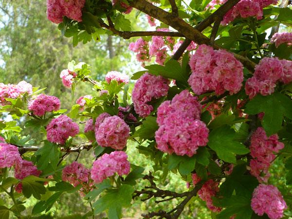 баярышник в цвету