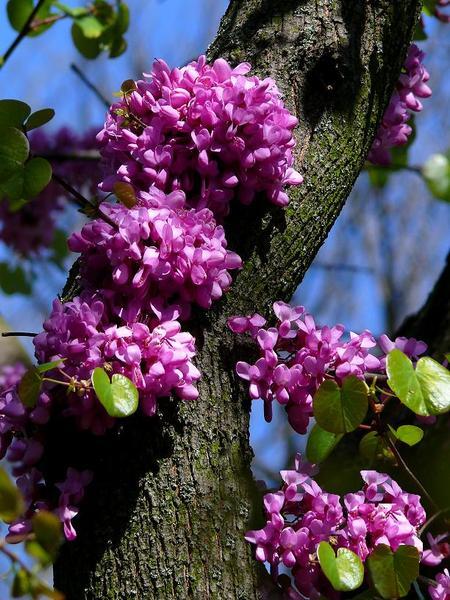 1иудина дерева цвет