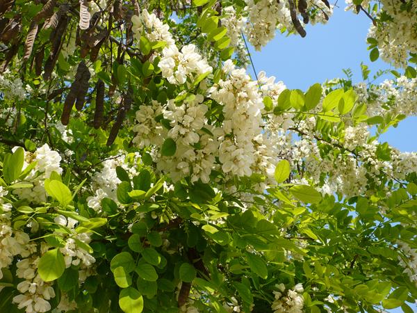 белая акация цветёт