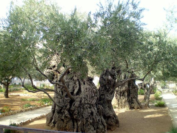 1-Гефсиманские оливы
