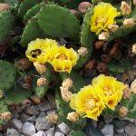 На ЮБК зацвели дикие кактусы