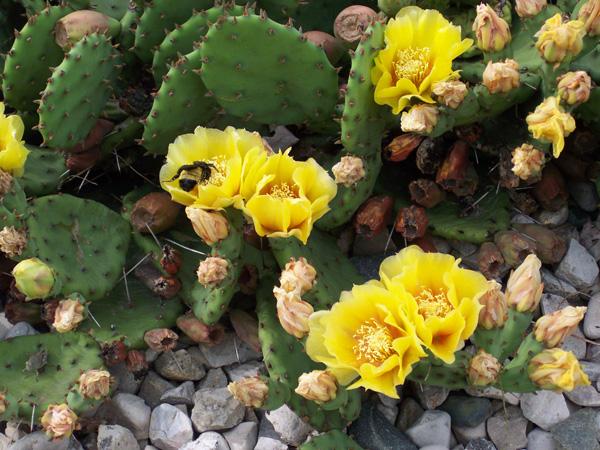 1-Cactus_Opuntia