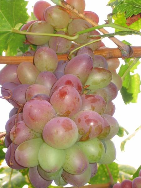 виноград- Тайфи розовый