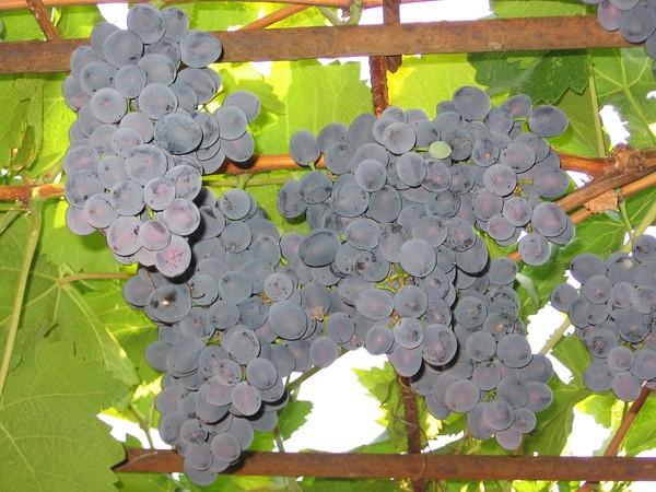 виногр