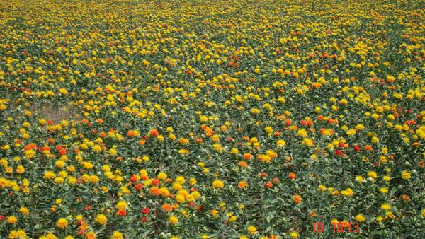 сафлоровое поле