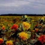 Крым станет поставщиком сафлорового масла в Европу