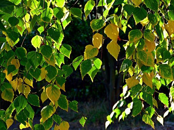 осень-берёза