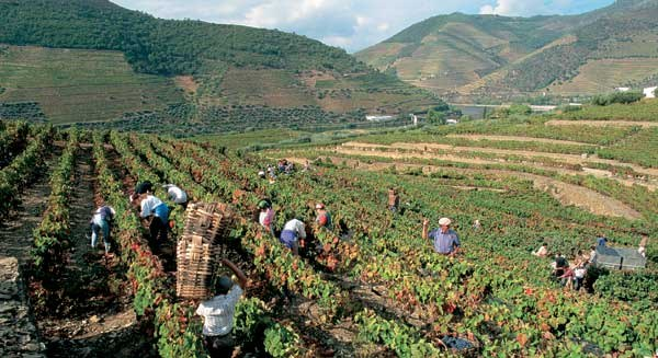 1-уборка винограда